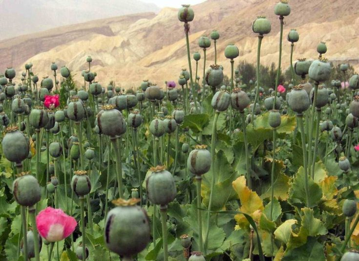 opium cultivation