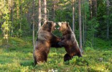Bears from Finland